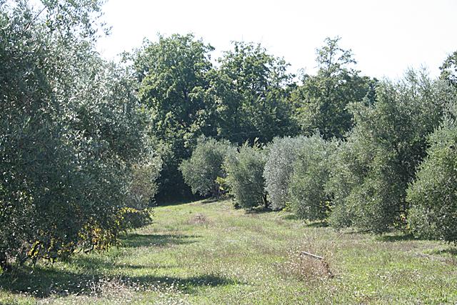 Campo Grande, Olivenhain
